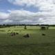 Kühe auf englischer Weide